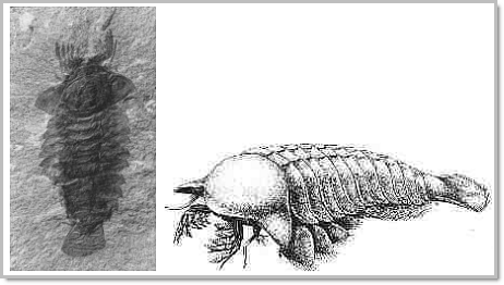 Burgess shale fossil