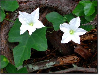 Coccinia grandis flower - leaf