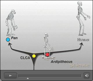 Ardipithecus ramidus.video 2