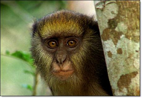 Campbell's monkey