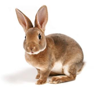 12 rabbits