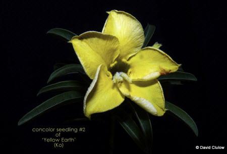 08 Yellow Adenium photo