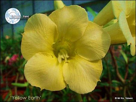08 Yellow Adenium photo 02
