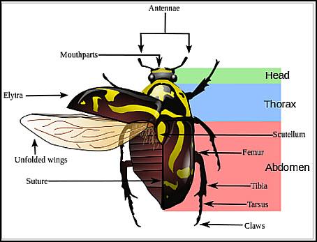 08 Beetles. photo