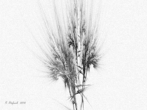 San_joaquin_valley_fluffer_grass_in_bloo