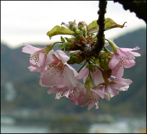 Cherry_blossom_time_in_japan_2