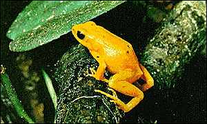 Golden_toad